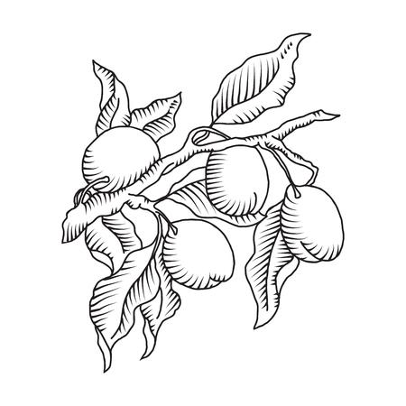 Vector illustration of plum branch with fruit of plum Çizim