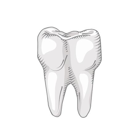 歯は、白い背景で隔離。歯科、医学、医療の概念  イラスト・ベクター素材