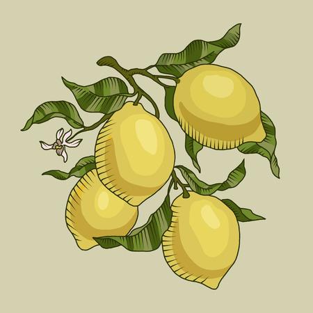 Illustrazione vettoriale del ramo di limone con frutti di limone isolato Archivio Fotografico - 61570330