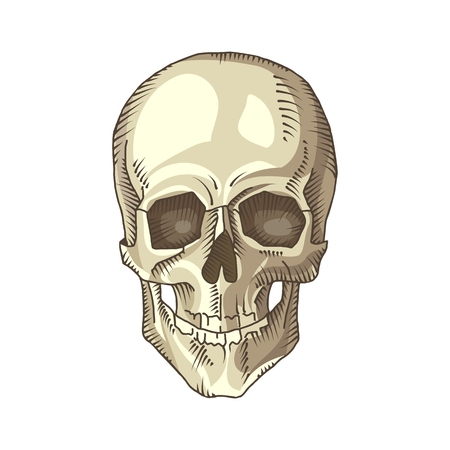 Frontal Bone Stock Photos Royalty Free Frontal Bone Images