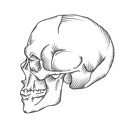 Illustration of anatomical skull isolated on the white background. Vector. Hand drawn.