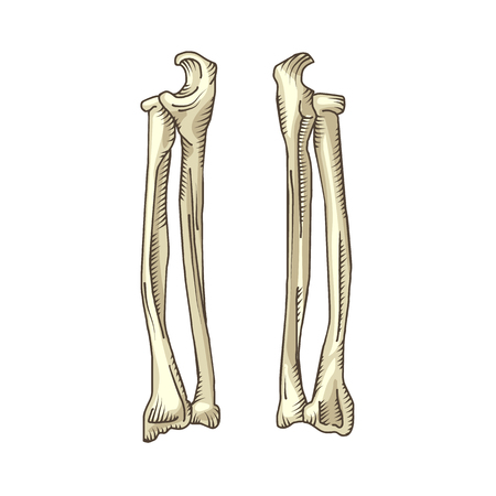 Hand drawn realistic human bones. Vector illustration isolated on the white