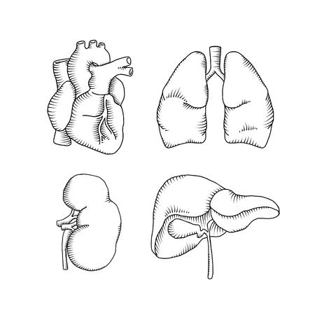 human organs. heart liver kidneys lungs. vector illustration