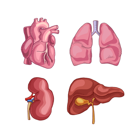 human organs. heart liver kidneys lungs. vector illustration