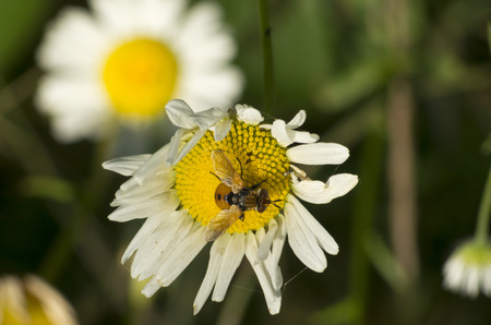 bee fly on flower  photo