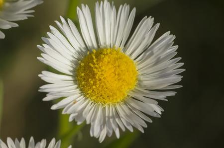 daisy macro photo