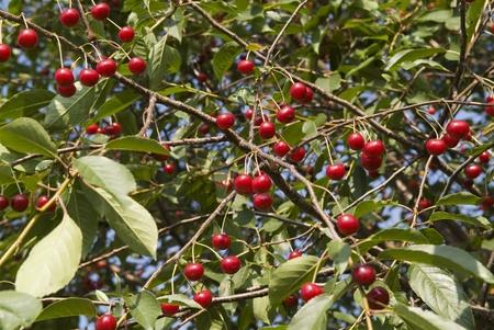 Cherry Stock Photo - 8964742