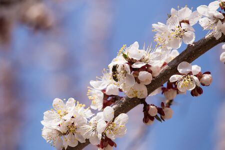 A branch of blooming apricots with bees collecting pollen. Against the background of blue sky.