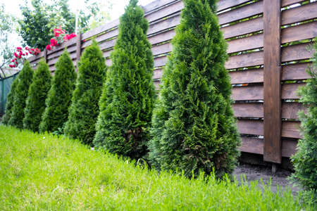 Beautiful young green thuja on the background of a wooden fence