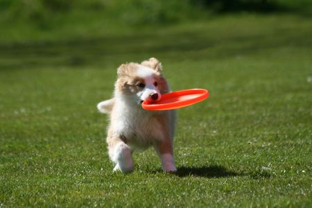 Puppy with frisbee Stock Photo