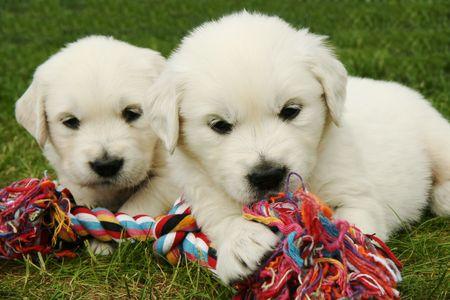 Golden retrievers puppies Stock Photo