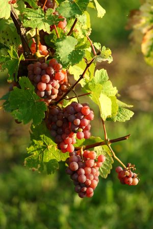 Vineyard grape Stock Photo - 3551106