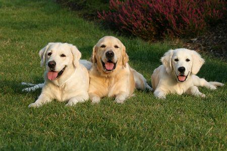 Three golden retrievers Stock Photo