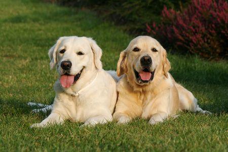 perros jugando: Dos de oro retrievers Foto de archivo
