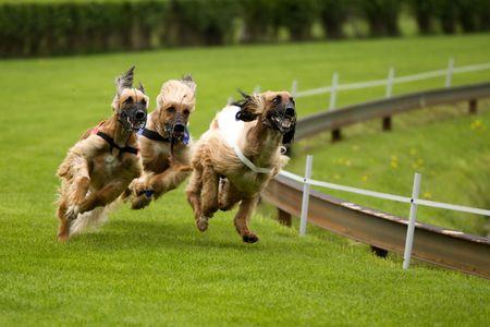 Running dogs photo