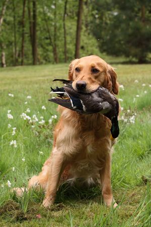 dead dog: Dog holding a duck