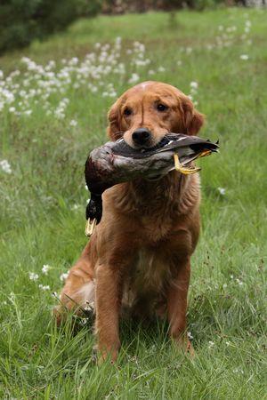 dead duck: Dog holding a duck