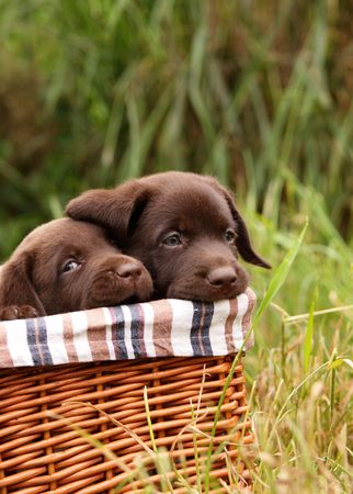 Labrador retriever puppies in a basket Stock Photo - 4978336