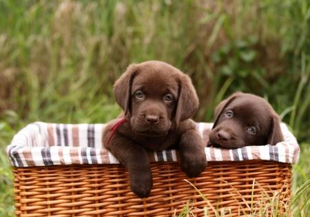 labrador retriever: Labrador retriever cachorros en una cesta Foto de archivo