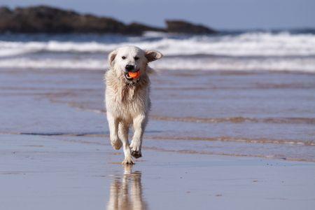 Golden retriever running on beach photo