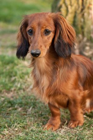 Longhaired dachshund photo