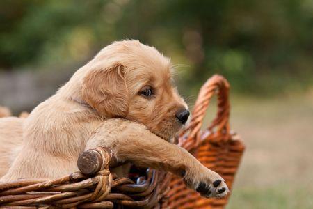 Golden retriever puppy in basket