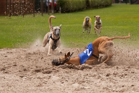Racing dogs photo