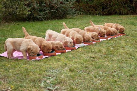 Eleven golden retriever puppies