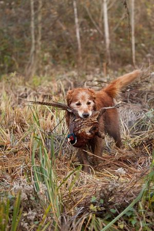 Golden retriever retrieving a pheasant