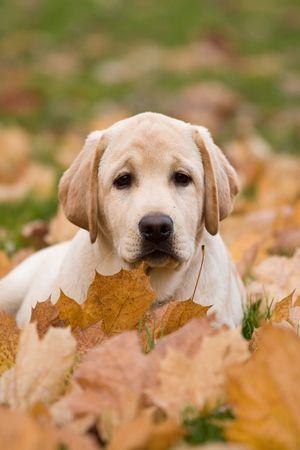 Portrait of labrador retriever puppy
