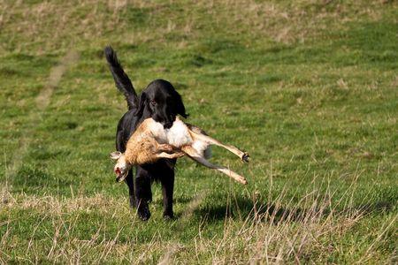 gundog: Gundog retrieving a hare