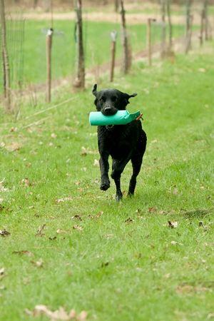 Black labrador retriever running with a dummy photo