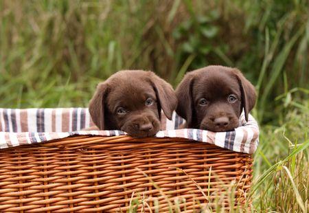 labrador puppy: Chocolate labrador retriever puppies in a basket