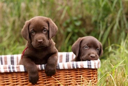 Chocolate labrador retriever puppies in a basket
