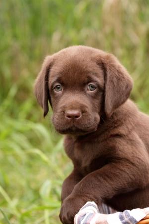 Chocolate labrador retriever puppy in a basket