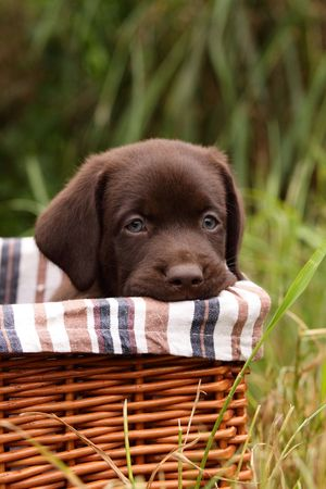 Chocolate labrador retriever puppy in a basket Stock Photo - 7098842