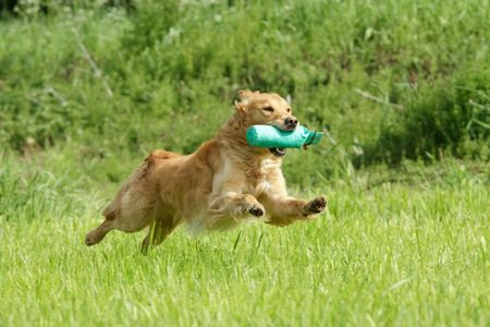 Golden retriever running with a dummy Stock Photo - 7098844