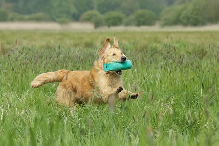 Golden retriever running with a dummy in a field photo
