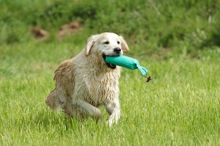 Golden retriever running with a dummy in a field