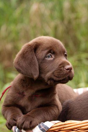 perro labrador: Cachorro de chocolate labrador retriever en una cesta