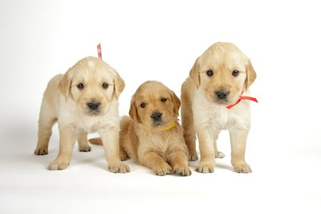 golden retriever puppy: Golden retriever puppies in front of white background