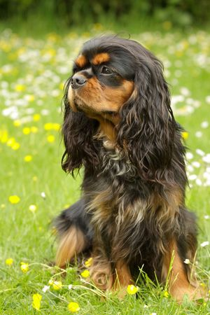 cavalier: Black and Tan Cavalier King Charles Spaniel Stock Photo