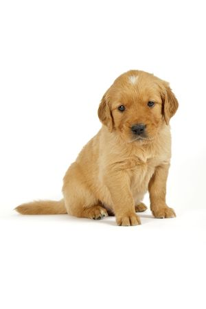 Golden retriever puppy in front of white background
