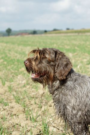 griffon: Portrait of a wirehaired pointing griffon