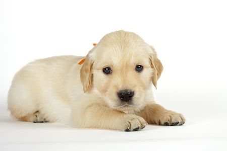 Golden retriever puppies in front of white background