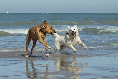 Golden retriever and Rhodesian Ridgeback running on a beach
