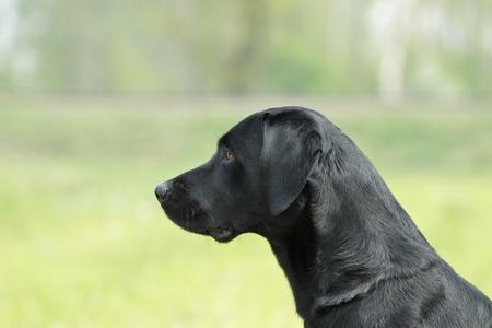 Portrait of black labrador retriever photo