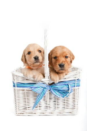 golden retriever puppy: Golden retriever puppies in a wicker basket Stock Photo