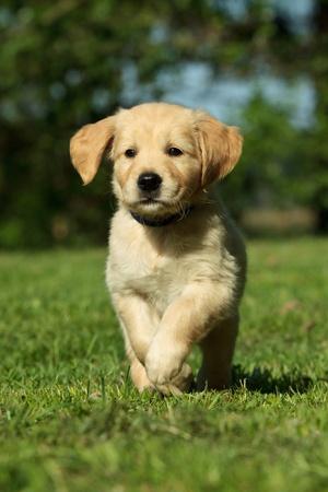 Golden retriever puppy running in a garden