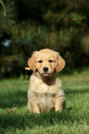 Golden retriever puppy sitting in a garden Stock Photo - 9661924